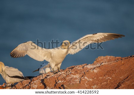 Portrait of northern gannet in beautiful morning light, Helgoland - stock photo