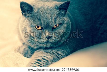 Portrait of old adorable purebred british cat - stock photo