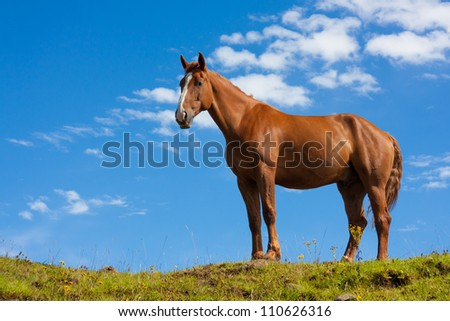 Portrait of one fierce quarter horse standing on a green hill taken from a lower angle - stock photo