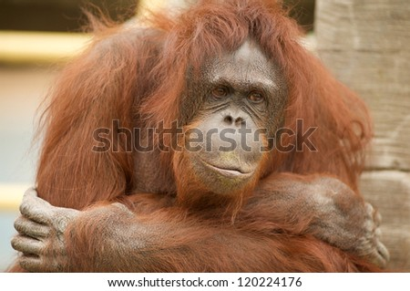 portrait of orangutan at the zoo