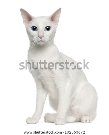 Portrait of Oriental Shorthair cat, 3 years old, sitting in front of white background - stock photo