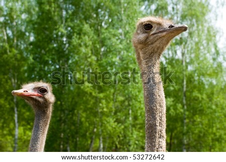 Portrait of ostriches on the nature