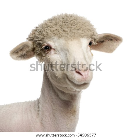 Portrait of partially shaved Merino lamb, 4 months old, in front of white background - stock photo