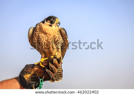 Portrait of Peregrine Falcon on a trainer's glove