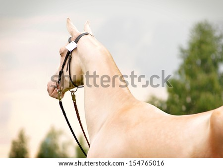 Portrait of perlino Akhal-Teke stallion in field - stock photo