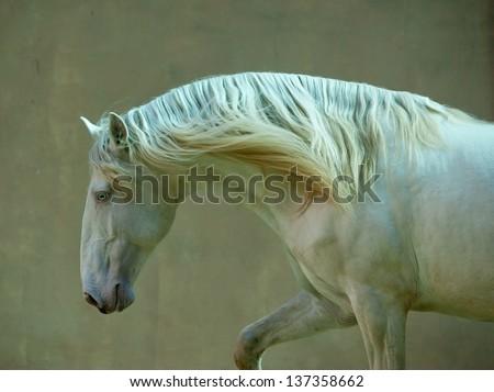 portrait of perlino lusitano horse - stock photo