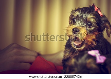 Portrait of playful Yorkshire terrier puppy dog with head fur tied with pink bow, barking at human hand. Copy space. - stock photo