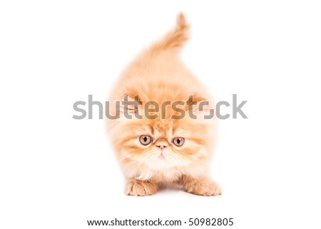 Portrait of  playing persian cat on a brown background. Studio shot. - stock photo