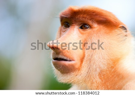 Portrait of proboscis monkey endemic of Borneo island in Malaysia