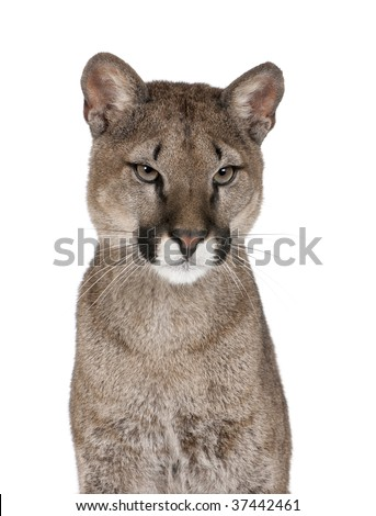 Portrait of Puma cub, Puma concolor, 1 year old, sitting against white background, studio shot - stock photo
