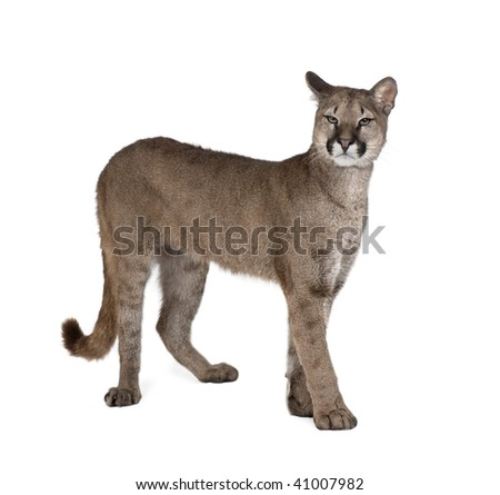 Portrait of Puma cub, Puma concolor, 1 year old, standing in front of white background - stock photo