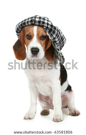 Portrait of puppy Beagle in a cap on a white background - stock photo