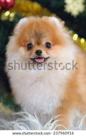 portrait of puppy pomeranian dog  in home - stock photo