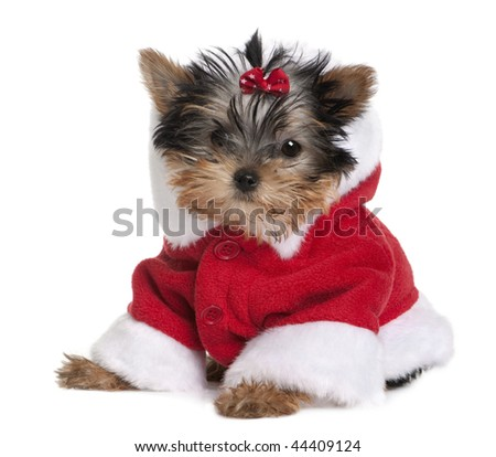 Portrait of puppy Yorkshire Terrier, 10 months old, dressed in Santa coat in front of white background - stock photo