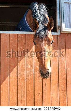 Portrait of purebred braided chestnut horse in stable window. Multicolored summertime outdoors image. - stock photo