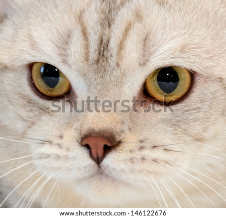 Portrait of purebred cat close-up - stock photo