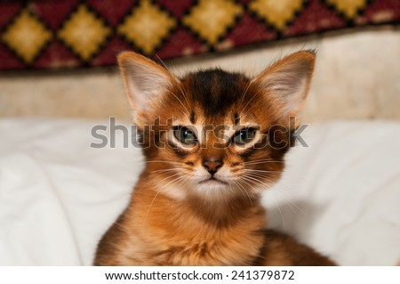 Portrait of purebred somali kitten sitting on bed and looking at camera - stock photo