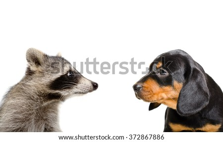 Portrait of raccoon and puppy breed Slovakian Hound isolated on white background - stock photo