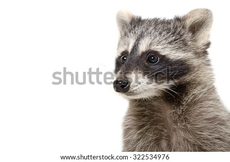 Portrait of raccoon isolated on white background