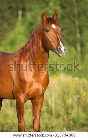 Portrait of red horse in nature, summer - stock photo