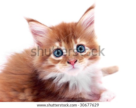 Portrait of red main coon kitten with blue eyes shot over white background