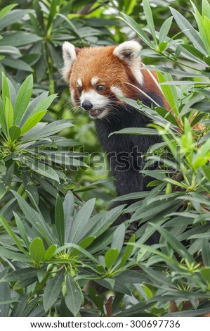 Portrait of Red Panda, Firefox or Lesser Panda (Ailurus fulgens) - stock photo