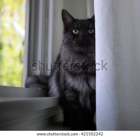 Portrait of Regal Long Haired Grey Black Maine Coon Cat Sitting by Window  - stock photo