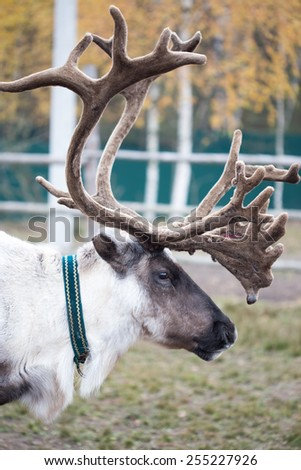 Portrait of Reindeer in the paddock on the farm - stock photo