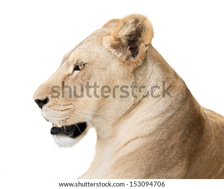 Portrait of resting lioness with open mouth, staring into distance, isolated on white background. - stock photo