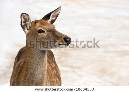Portrait of roe - stock photo