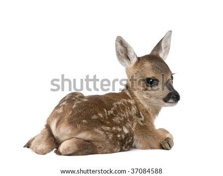 Portrait of Roe Deer Fawn, Capreolus capreolus, 15 days old, sitting against white background, studio shot - stock photo