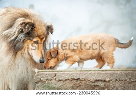 Portrait of rough collie with little puppy