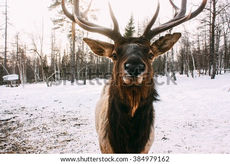 Portrait of Royal red deer buck with antlers - stock photo