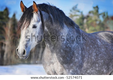 portrait of running arab horse - stock photo
