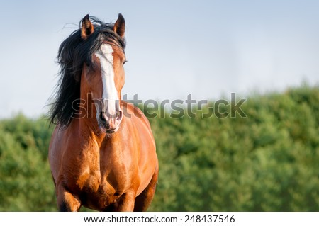 Portrait of running bay horse in summer - stock photo