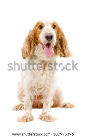 Portrait of  Russian Spaniel sitting isolated on white background - stock photo
