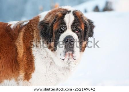 Portrait of saint bernard dog - stock photo