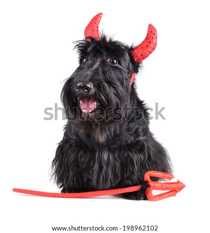 Portrait of Scotch terrier wearing a devil costume on white background - stock photo