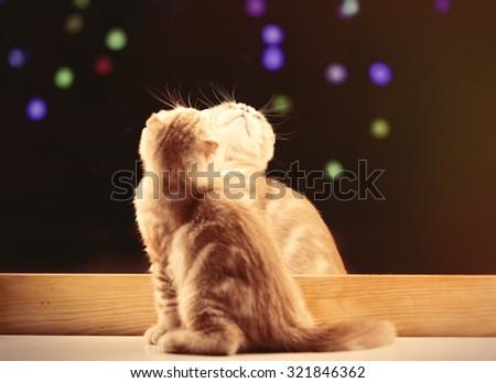 Portrait of Scottish Fold kitten near a mirror with Christmas lights on background - stock photo