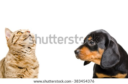 Portrait of Scottish Straight cat and puppy breed Slovakian Hound isolated on white background