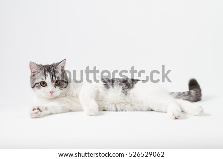 Portrait of Scottish Straight cat bi-color spotted lying on white background, 6 months old.