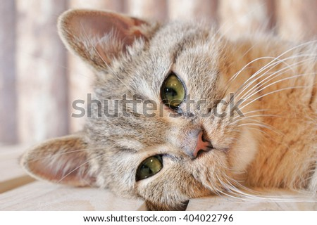 Portrait of Scottish Straight Tabby Cat, a few months old, selective focus - stock photo