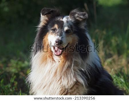 Portrait of   sheltie  dog on a natural background  - stock photo