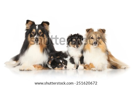 Portrait of Shetland Sheepdogs in front of white background - stock photo