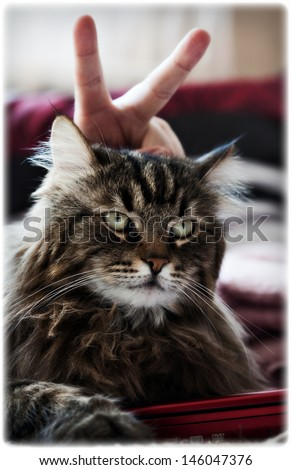 Portrait of siberian cat