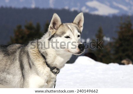 Portrait of Siberian Huskty dog in winter
