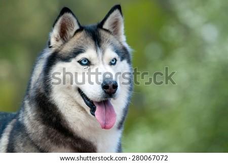 Portrait of Siberian Husky - stock photo