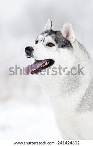 Portrait of Siberian Husky in winter