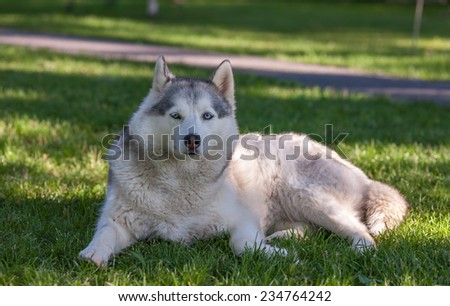 Portrait of Siberian Husky on the background of green grass - stock photo