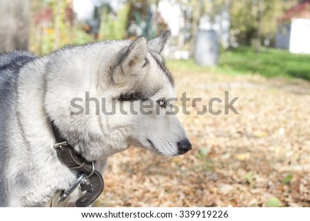 Portrait of siberian husky sled dog looking down. Beautiful alaskan cute pet. Walk with handsome adorable cool husky in the autumn park outdoors. Siberian pedigreed domestic animal. Colorful photo. - stock photo